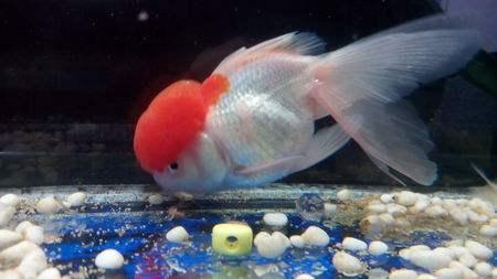 金鱼趴在缸底不动是怎么回事?金鱼趴缸应该怎么办?