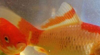 金鱼趴缸不动当心黑斑/点病,金鱼身上长黑斑应该怎么处理?
