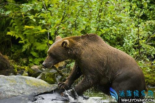 狗熊的舌头有倒刺吗?狗熊舌头上的倒刺有什么用?