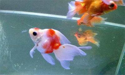 金鱼一直浮在水面沉不下去是怎么了?金鱼失漂之后能自愈吗?
