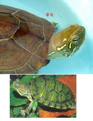 草龟和巴西龟能够混养吗?巴西龟和草龟怎么选?