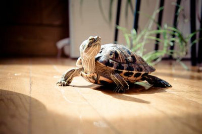 巴西龟的腹甲发黑是怎么了?健康巴西龟的腹甲应该是什么颜色?