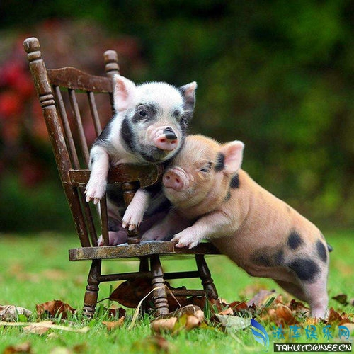 猪真的可以当宠物吗?真的有长不大的猪吗?