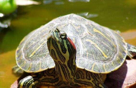 巴西龟会不会咬人?巴西龟认识主人吗?