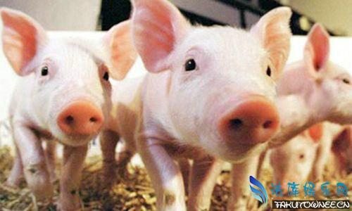 猪为什么不能回头?猪是从什么进化而来的?