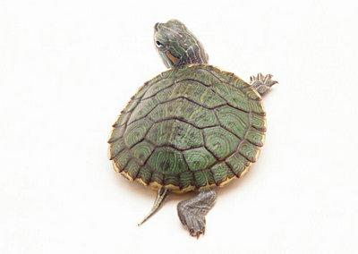 巴西龟背甲发红是怎么了?正常巴西龟的背甲应该是什么颜色的?