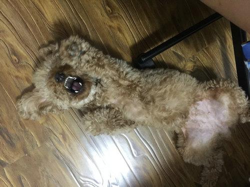 泰迪为什么不掉毛?除了泰迪还有什么狗不掉毛?