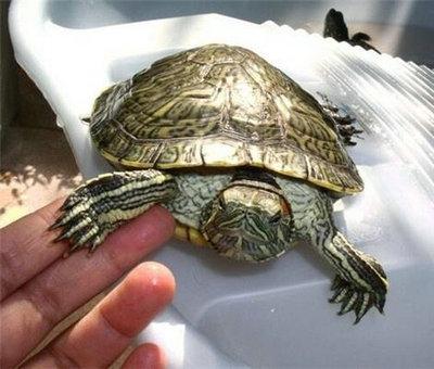 巴西龟冬眠时要吃饭喝水吗 巴西龟冬眠期间的注意事项