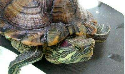 巴西龟冬眠中途醒了怎么办 应该喂食吗