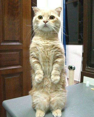 猫咪站立起来是什么原因 猫咪在什么情况下会站立