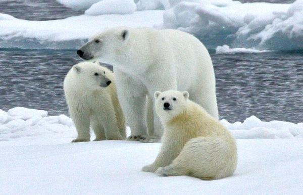 南极为什么没有北极熊 北极熊在南极能生存下去吗