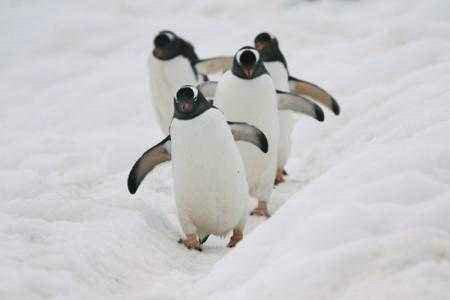 企鹅在哪里生活 北极为什么没有企鹅