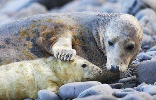 海豹会攻击人吗 海豹为什么不怕人