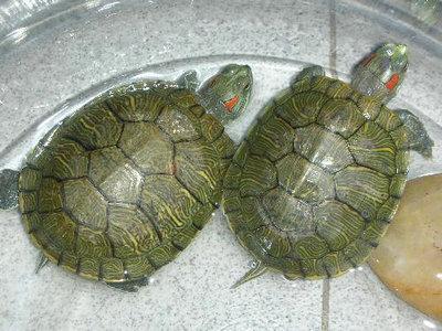 冬眠的巴西龟到什么时候醒来 应不应该让巴西龟冬眠