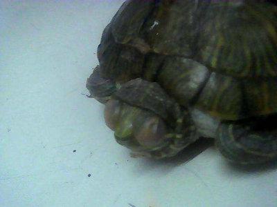 冬眠中的巴西龟有哪些特点 怎样确定冬眠中的巴西龟状态是否正常