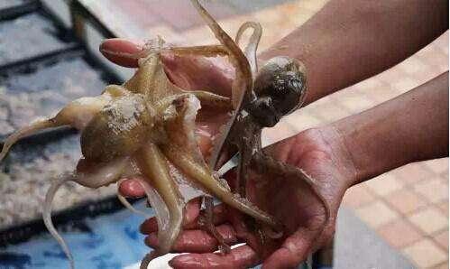 章鱼为什么切了还会动 吃活章鱼会窒息吗