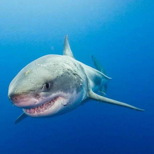 鲨鱼牙齿再生时间 鲨鱼牙齿为什么能再生