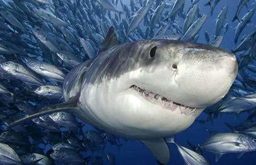 鲨鱼不吃海豚吗 为什么海豚不怕鲨鱼