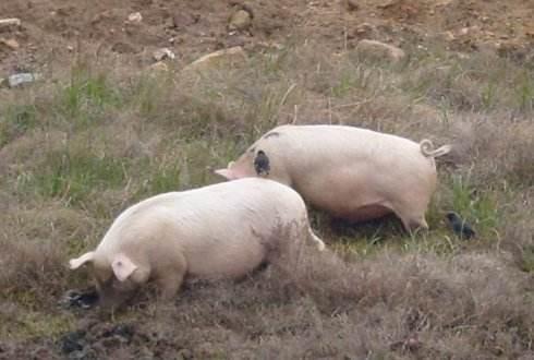 猪不能抬头是真的吗 猪为什么不能看天空