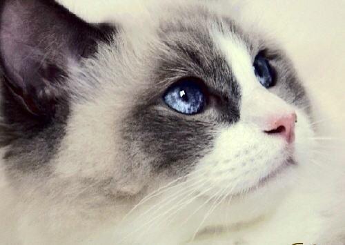 布偶猫是哪个国家的品种 布偶猫为什么那么贵