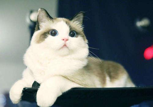 布偶猫身体素质好吗图片