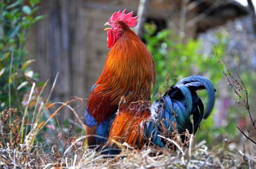 公鸡为什么打鸣 公鸡打鸣的时间是由什么决定的