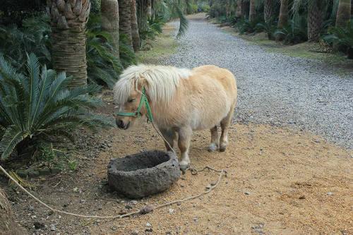 短腿马是什么品种 可以当宠物来养吗