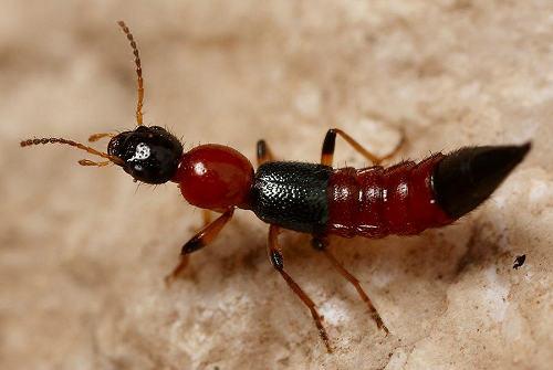 隐翅虫是真的吗 隐翅虫打死后会有毒吗