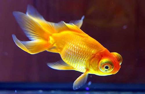 金鱼七秒记忆是瞎说的吗 鱼的记忆有多久