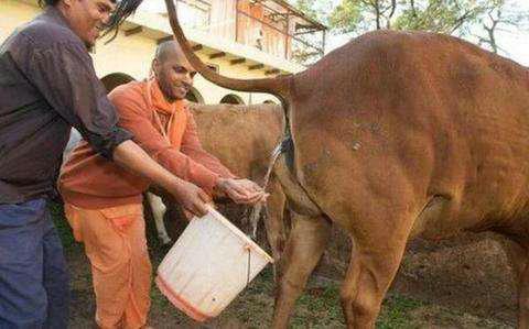 印度的牛为什么到处乱跑 印度牛多的原因