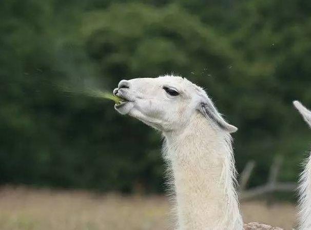 羊驼为什么吐口水 羊驼吐口水是喜欢的意思吗
