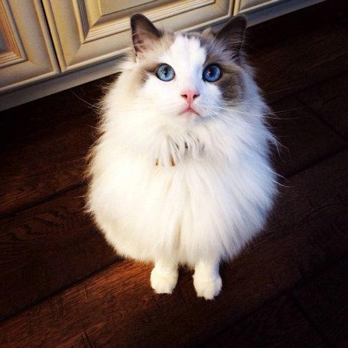 布偶猫粘人的原因 为什么布偶特别粘人