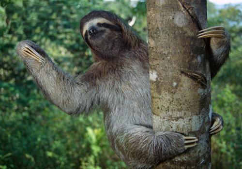树懒为什么喜欢吊在树上 树懒一天要睡多久