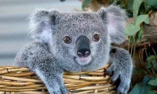 考拉只在澳洲有吗 为什么考拉只在澳洲有