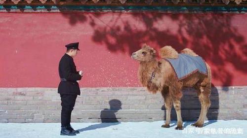 新世界为什么总有骆驼 骆驼的寓意是什么