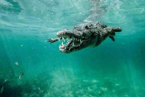 鳄鱼能在水下待多久 鳄鱼为什么能憋气那么久