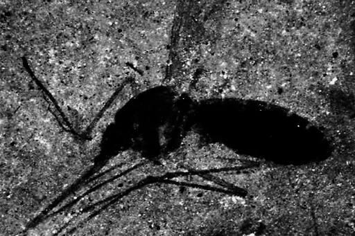 蚊子在地球存在多少年了 远古时期的蚊子有多大