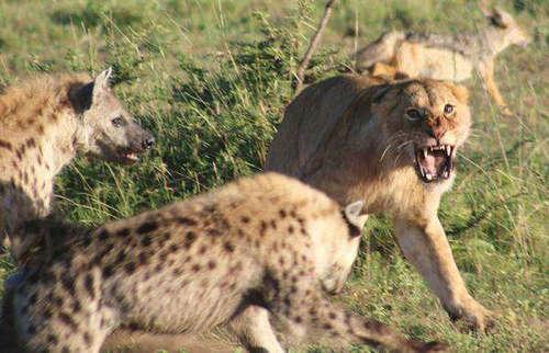 狮子吃不吃鬣狗 一只狮子能打过几只鬣狗