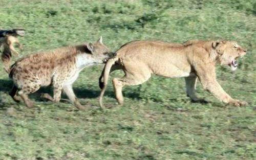 鬣狗掏肛是什么梗 鬣狗为什么喜欢掏肛