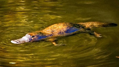鸭嘴兽在地球上存在多少年了 鸭嘴兽算哺乳动物吗