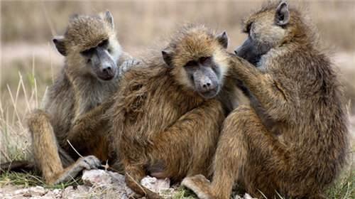 狒狒和猩猩属于一种生物吗 狒狒的智商高吗
