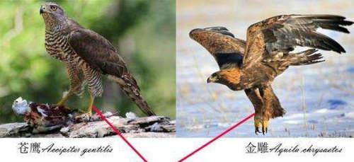 鹰和雕有什么区别 鹰和雕哪个更厉害一些