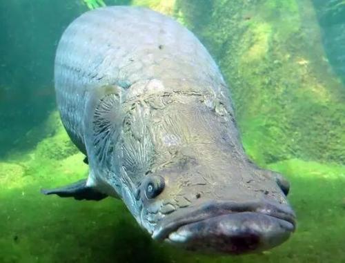 巨骨舌鱼有多厉害巨骨舌鱼咬合力有多大
