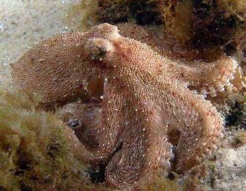 沼泽章鱼是什么物种 沼泽章鱼真的存在吗
