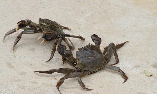 螃蟹腿断了还能再生吗 螃蟹腿为啥能再生