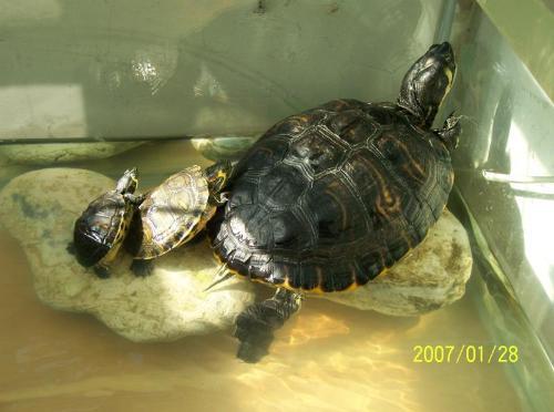 家里养乌龟养一只好,还是两只好