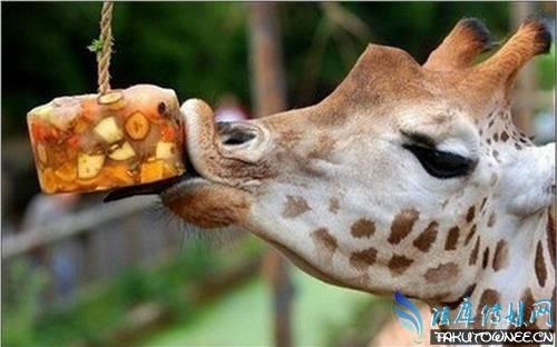 长颈鹿的脖子能干什么?长颈鹿最高有多少米高?