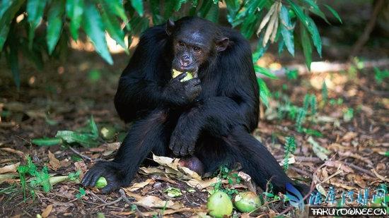 母猩猩生殖器真实图片,猩猩和人的详细区别有哪些?