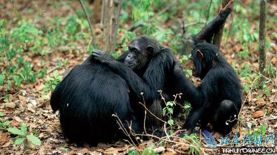 是人类特有的,但黑猩猩