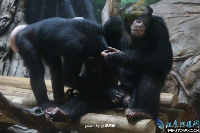 母猩猩生育器图片